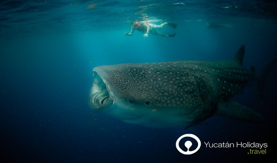 Swimming with Whale Sharks The Adventures of Yucatan Holidays