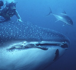 Whale Shark season runs from May to June