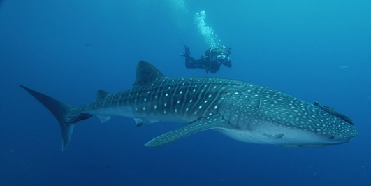 Peaceful and marvelous Whale Sharks