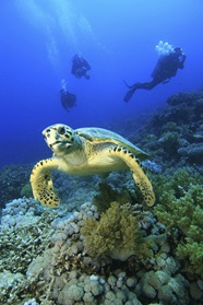 Sea turtles in the Mexican Caribbean