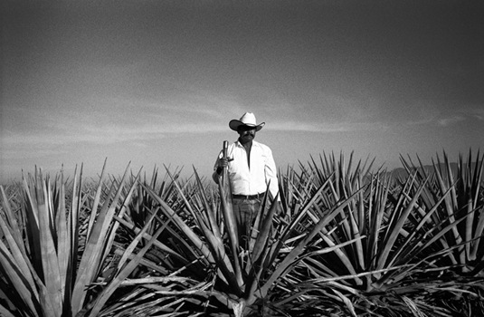 A jimador in the middle of a blue agave field.