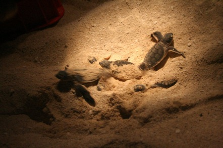 Some baby sea turtles getting out of the sand!