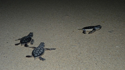 Baby sea turtles on their way to the sea.
