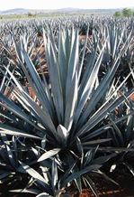 Blue Agave: Tequilana Weber plant