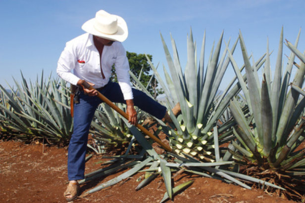 Tequila plant Mexico
